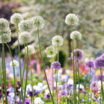 Allium Gladiator and Allium Mount Everest