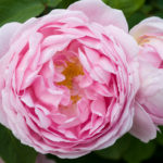 Rosa Constance Spry, David Austin English Rose