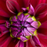 Dahlia 'Freemont's Memory' (Informal Decorative)