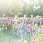 Cottage garden on summer morning with allium, lupine and iris