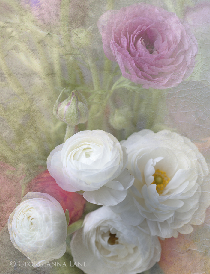 Ranunculus by Georgianna Lane
