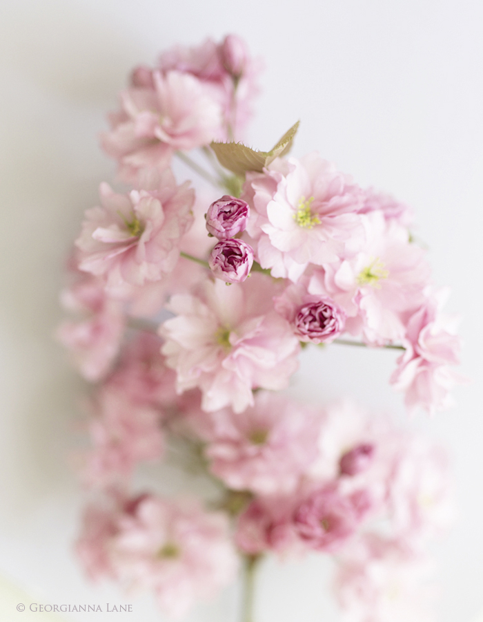 Kwanzan Cherry Blossoms by Georgianna Lane