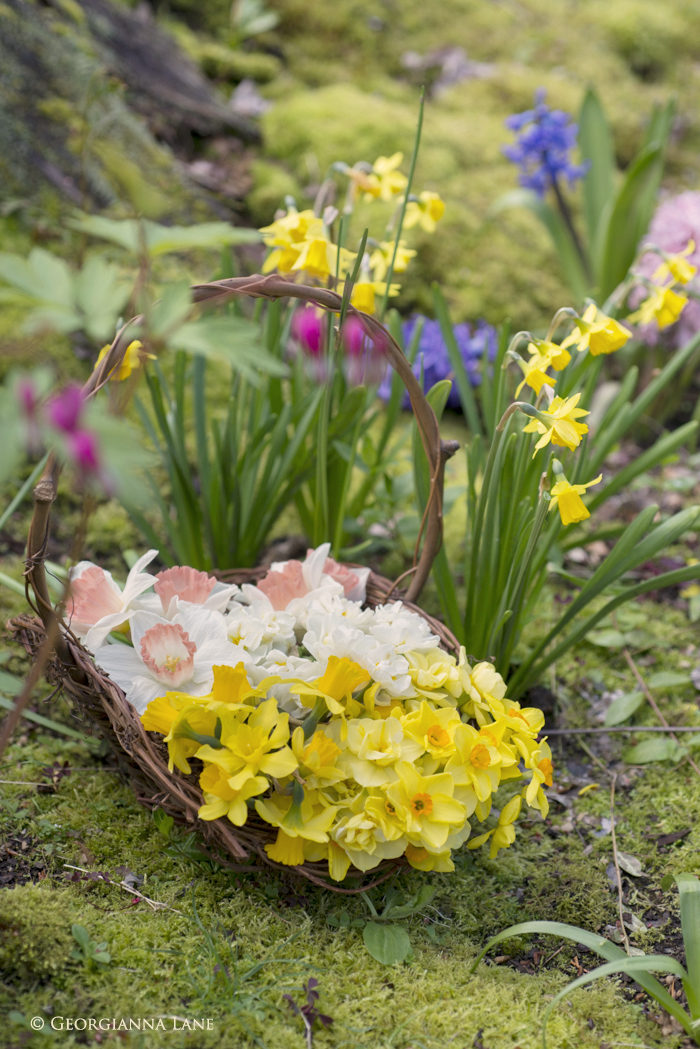 Freshly cut Narcissus from the woodland garden