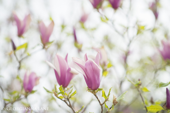 Magnolia blossoms, Paris, by Georgianna Lane