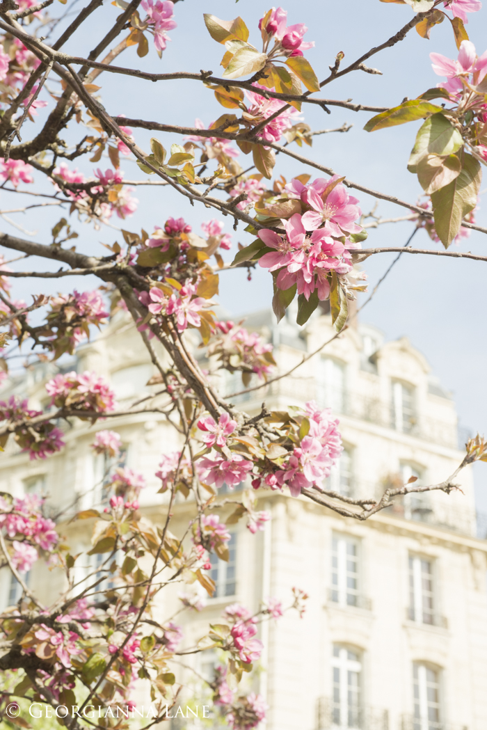 Crabapple tree blossoms, Paris, by Georgianna Lane