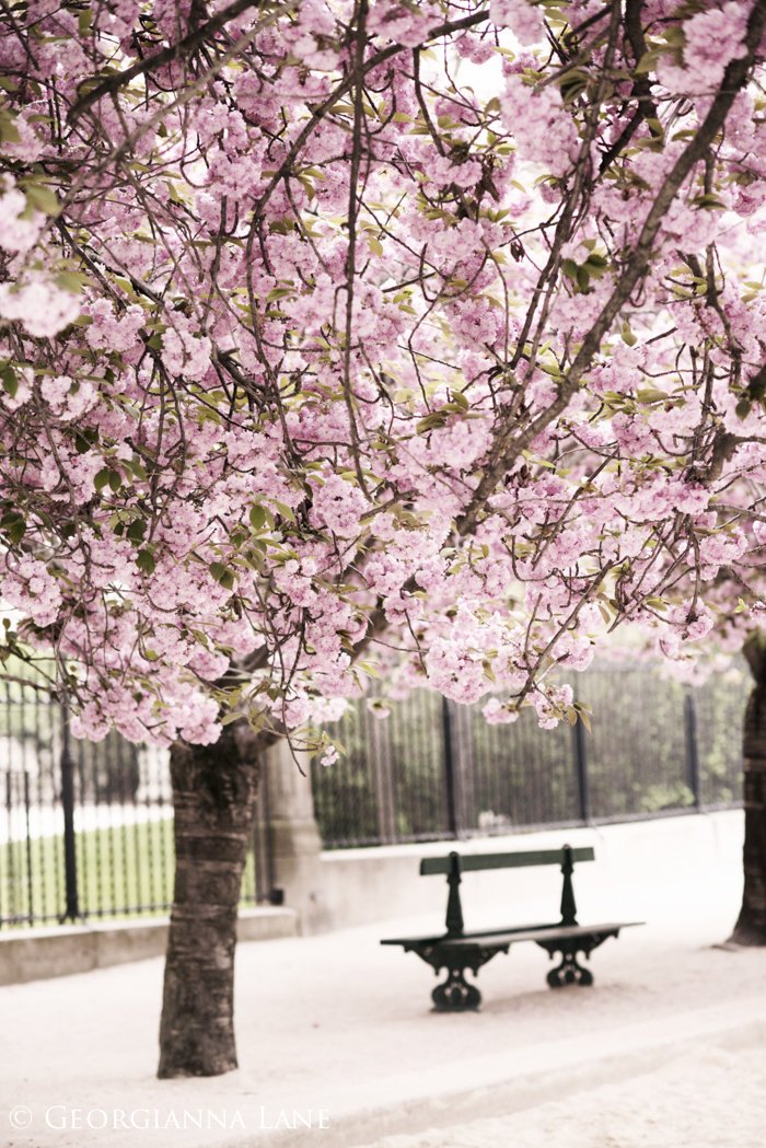 Cherry Blossoms, Paris, by Georgianna Lane