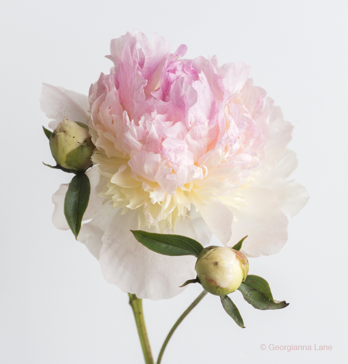 peony by Georgianna Lane