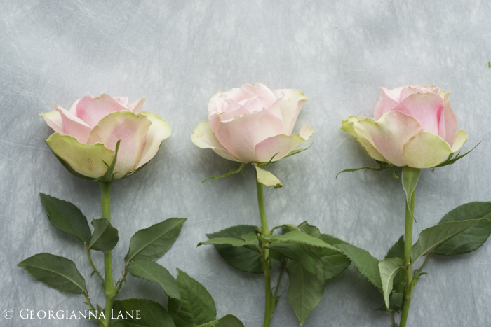 Roses photographed by Georgianna Lane