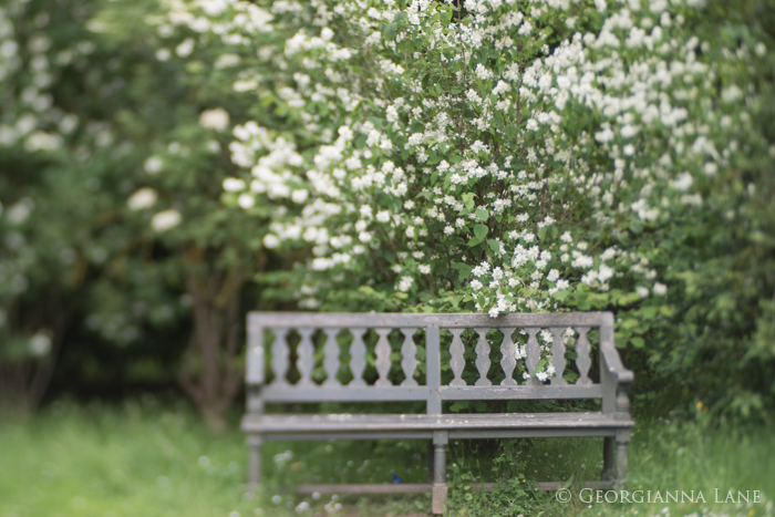 Mock Orange in Bloom, Versailles, by Georgianna Lane