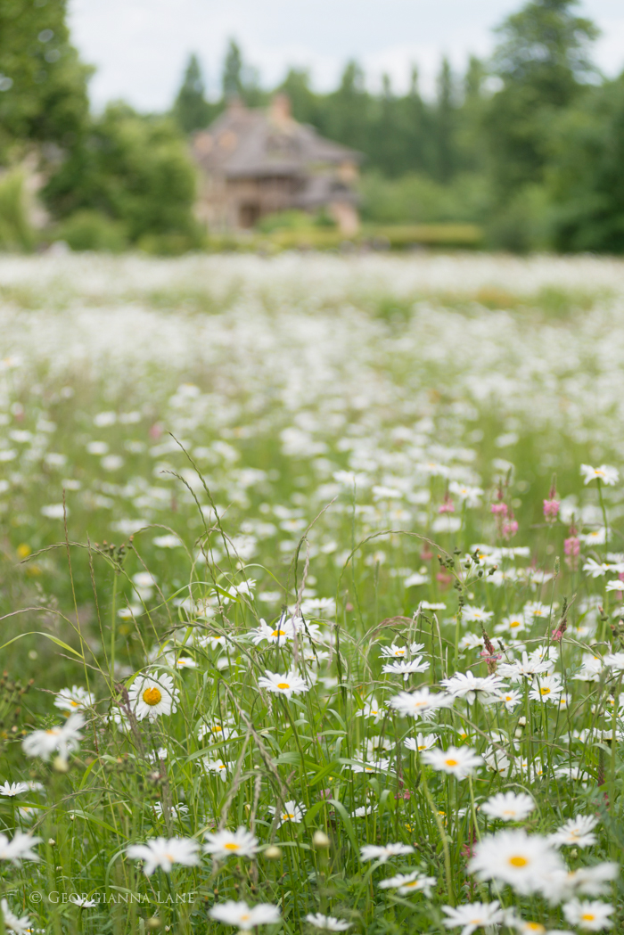 Field of Daisies at the Hameau, Versailles by Georgianna Lane