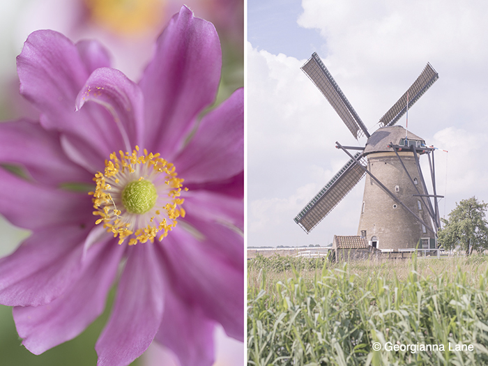 Windmill, Holland with Windflower, Japanese Anemone by Georgianna Lane