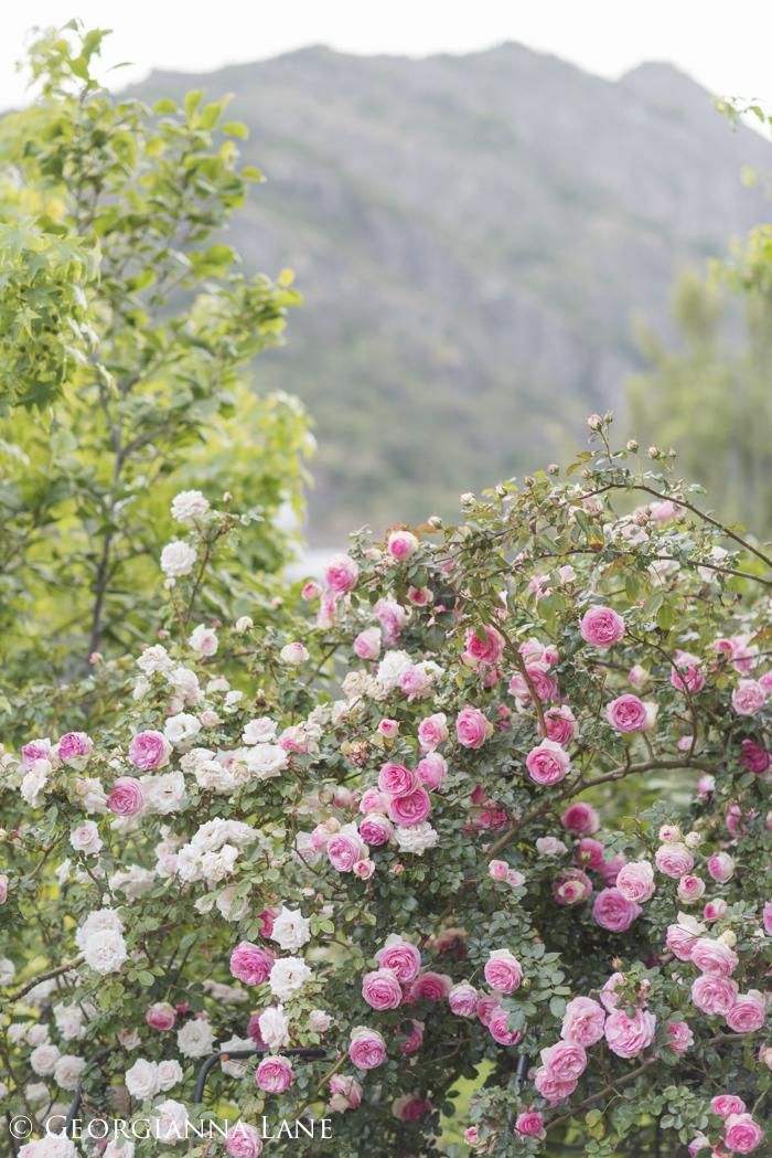 Roses at the home of Maria Cecilia in Chile, photographed by Georgianna Lane