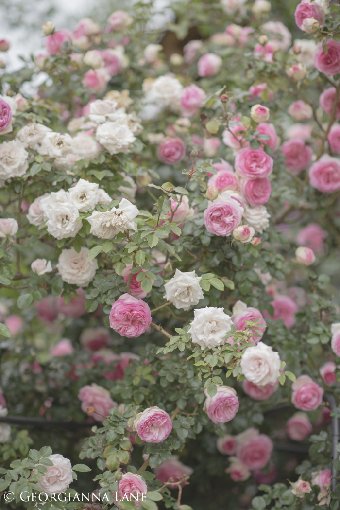 Roses at the home of María Cecilia in Chile, photographed by Georgianna Lane