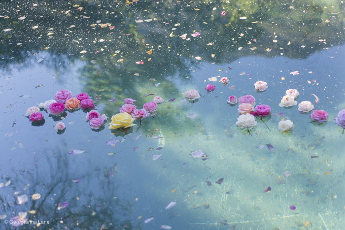 Floating Roses in Central Chile by Georgianna Lane