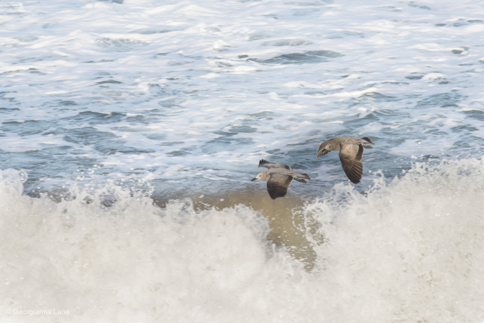 Seagulls on the Coast of Central Chile by Georgianna Lane