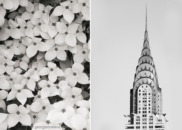 Dogwood blossoms and Chrysler Building, New York