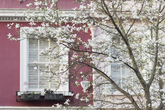 Magnolia Blossoms, Notting Hill, London by Georgianna Lane