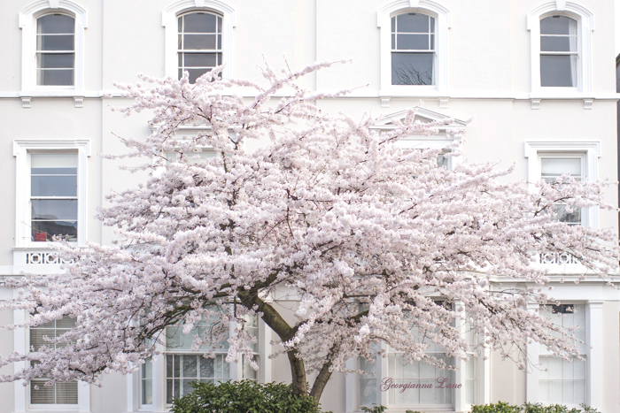 Cherry Tree, Primrose Hill, London, by Georgianna Lane