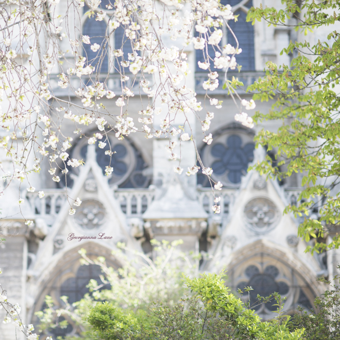 White Cherry Blossoms, Notre Dame, Paris by Georgianna Lane