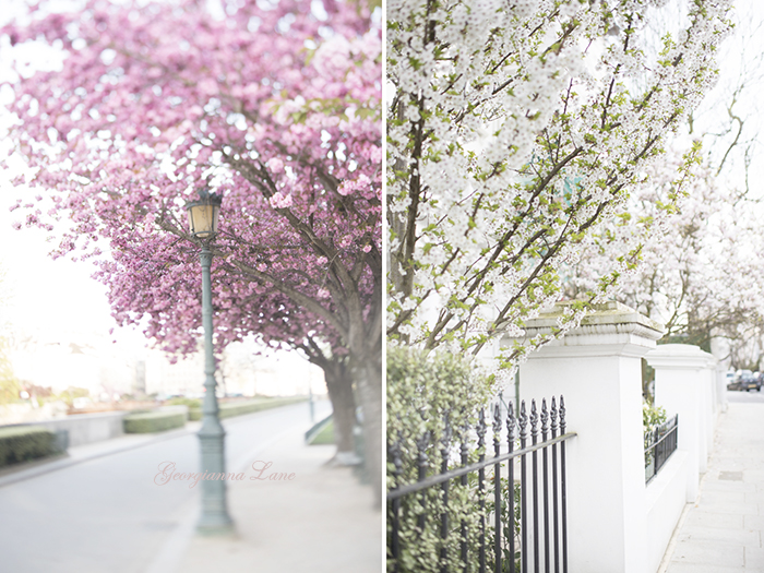 Cherry Blossoms at Notre Dame, Paris and in Kensington, London by Georgianna Lane