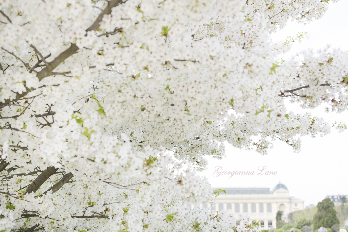 White Cherry Blossoms, Jardin des Plantes, Paris by Georgianna Lane