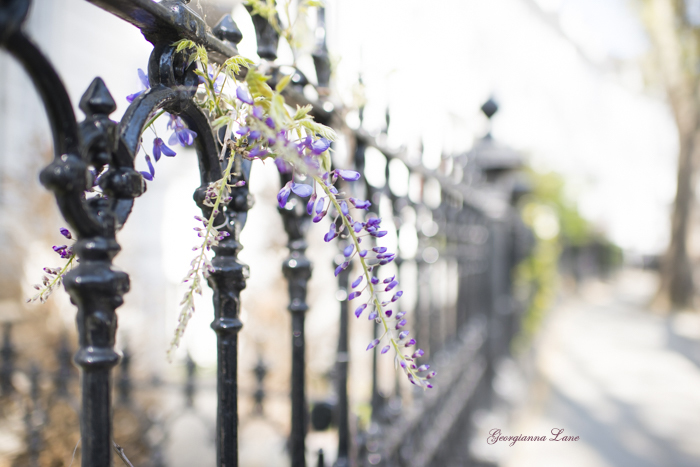 Wisteria on a Fence, London by Georgianna Lane