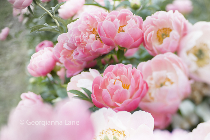Coral Charm Peonies at North Field Farm by Georgianna Lane