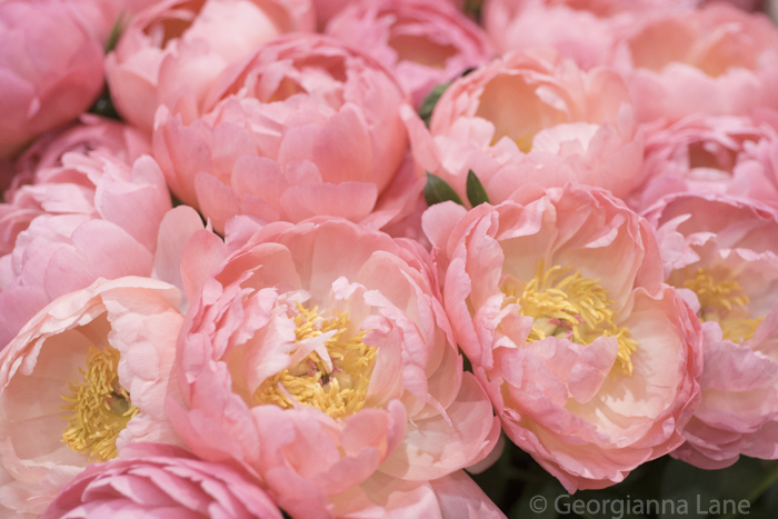 Coral Charm peonies in Paris by Georgianna Lane