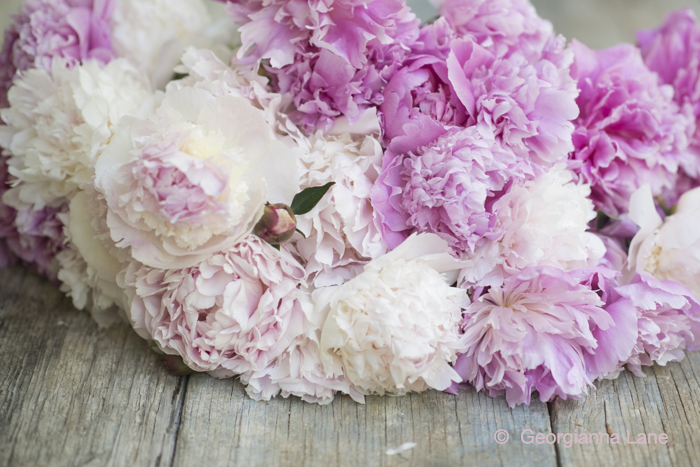 Peonies by Georgianna Lane