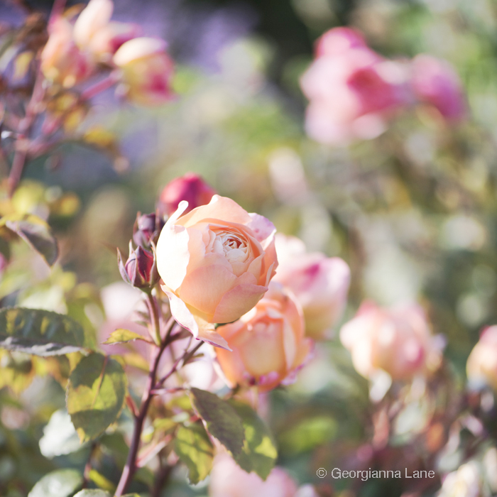 David Austin Rose 'Lady Emma Hamilton' photographed by Georgianna Lane