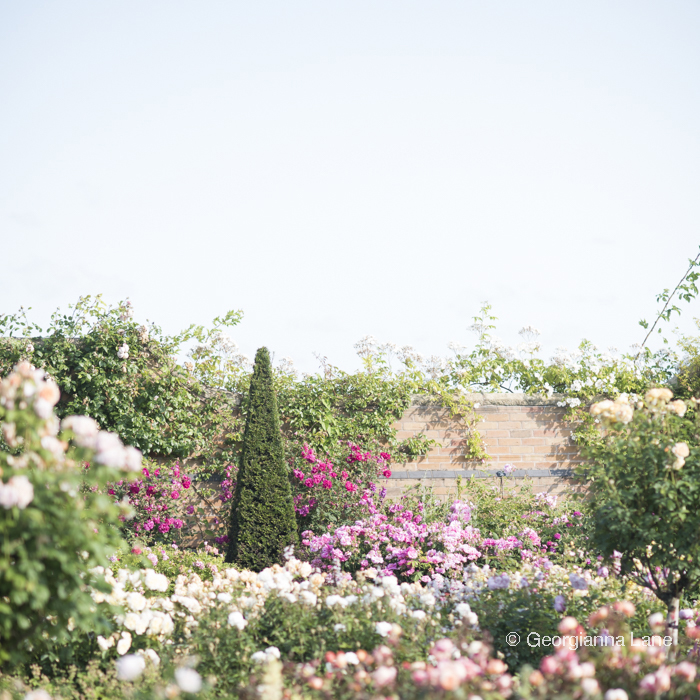 The Lion Garden, David Austin Roses, England, photographed by Georgianna Lane