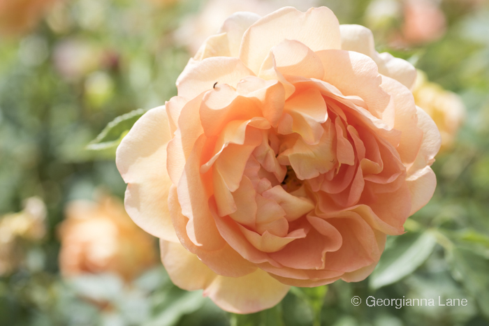 David Austin Rose 'The Lady of Shallot' by Georgianna Lane