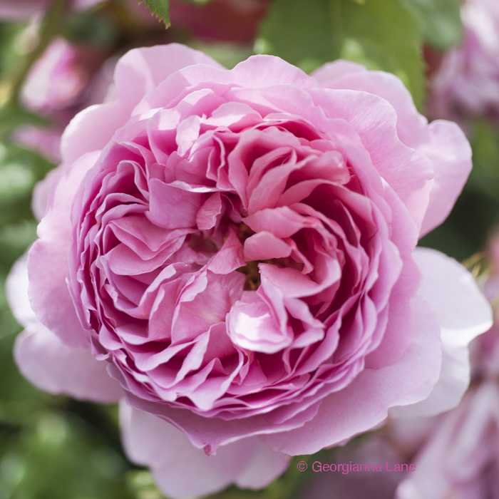 David Austin Rose 'Princess Alexandra of Kent' by Georgianna Lane