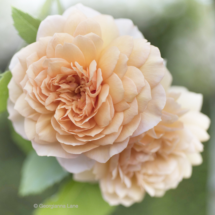 David Austin Rose 'Grace' by Georgianna Lane