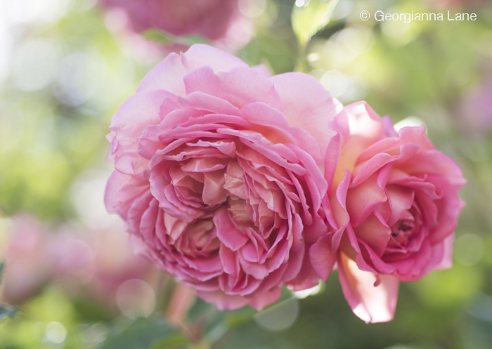 David Austin Rose 'Jubilee Celebration' by Georgianna Lane
