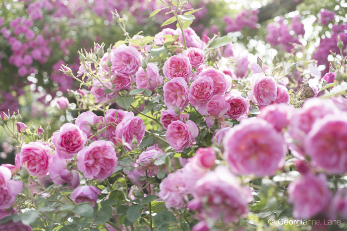 David Austin Rose 'Hyde Hall' by Georgianna Lane