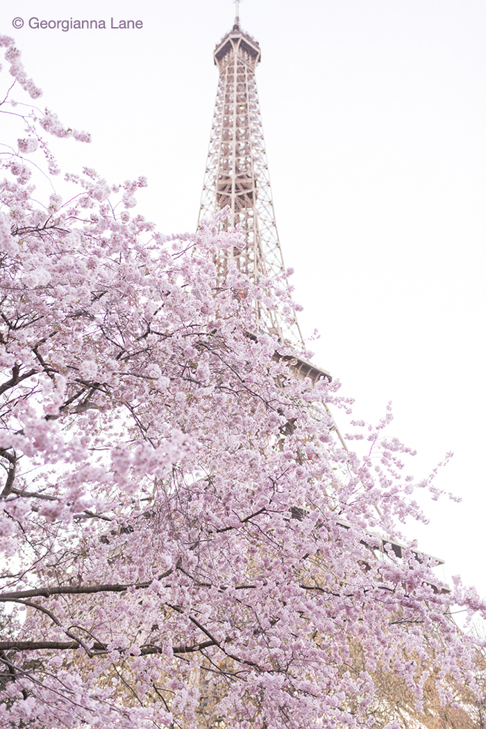 Cherry Blossoms, Eiffel Tower, by Georgianna Lane