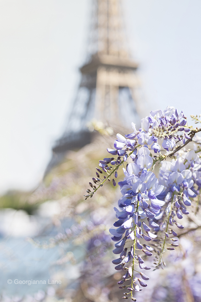 Wisteria and the Eiffel Tower by Georgianna Lane