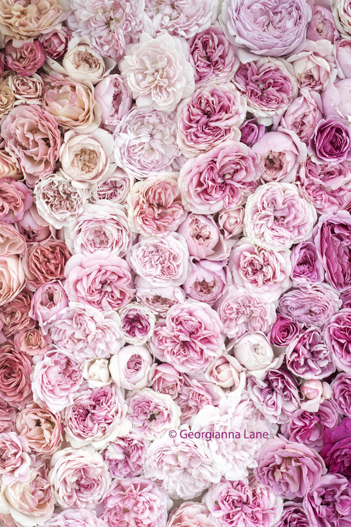 David Austin Roses by Georgianna Lane