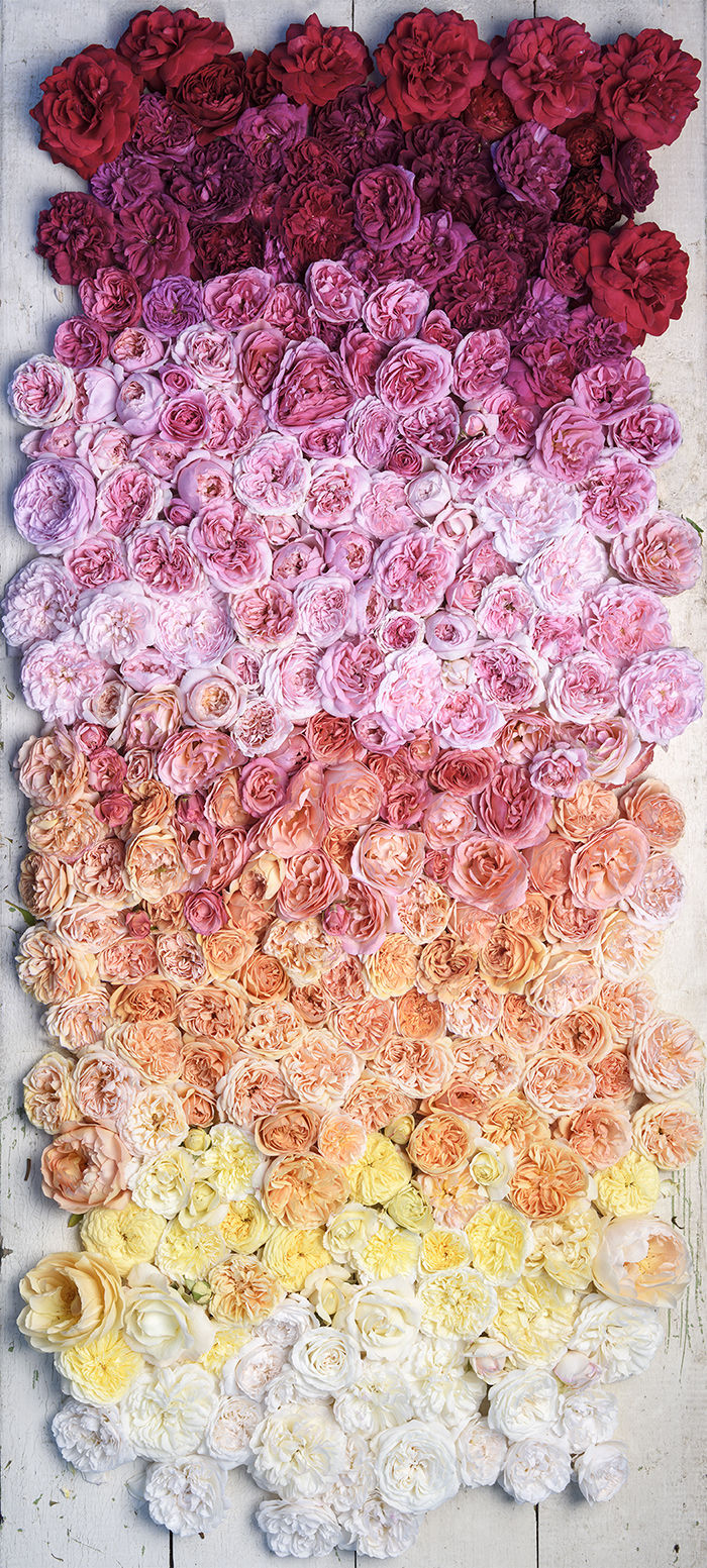 Roses by Georgianna Lane