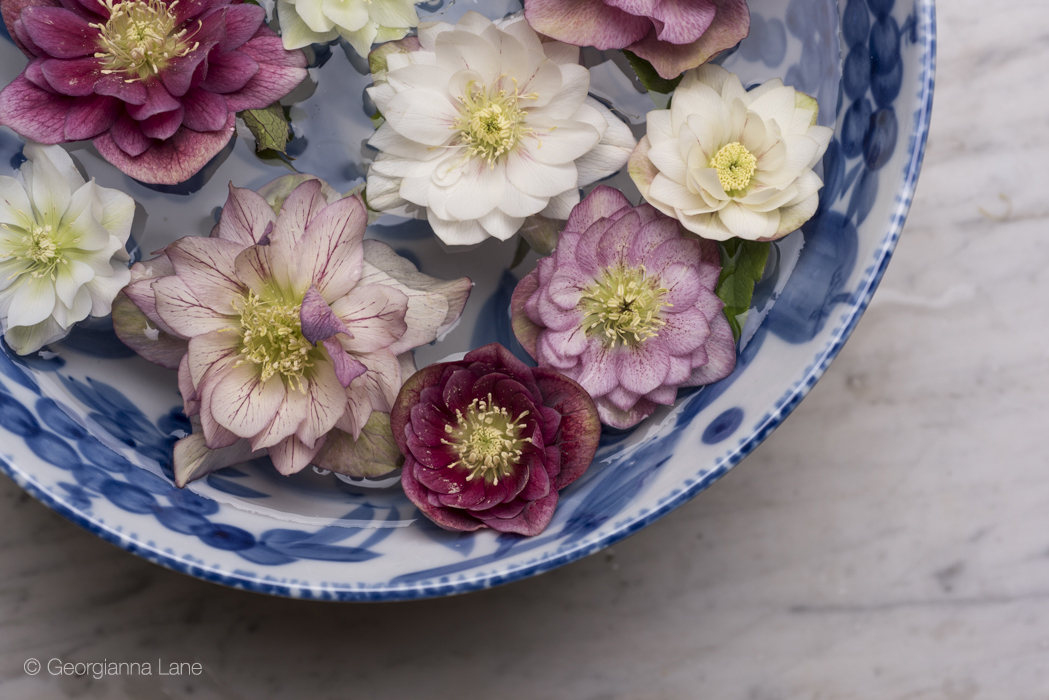 Hellebores in Paris by Georgianna Lane