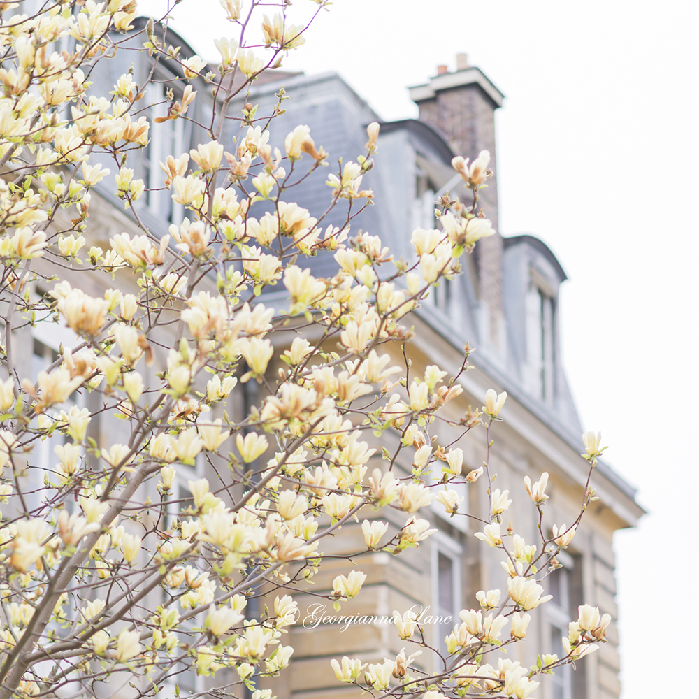 Yellow magnolia at Jarden des Plantes, Paris, by Georgianna Lane