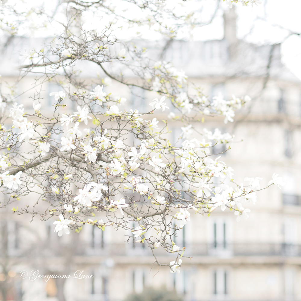 White Star Magnolia in Paris by Georgianna Lane