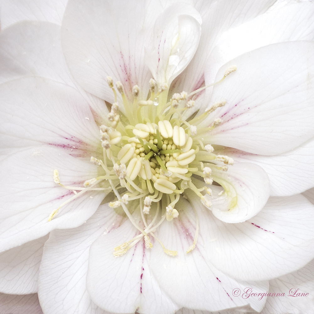 Hellebore photographed in Paris by Georgianna Lane