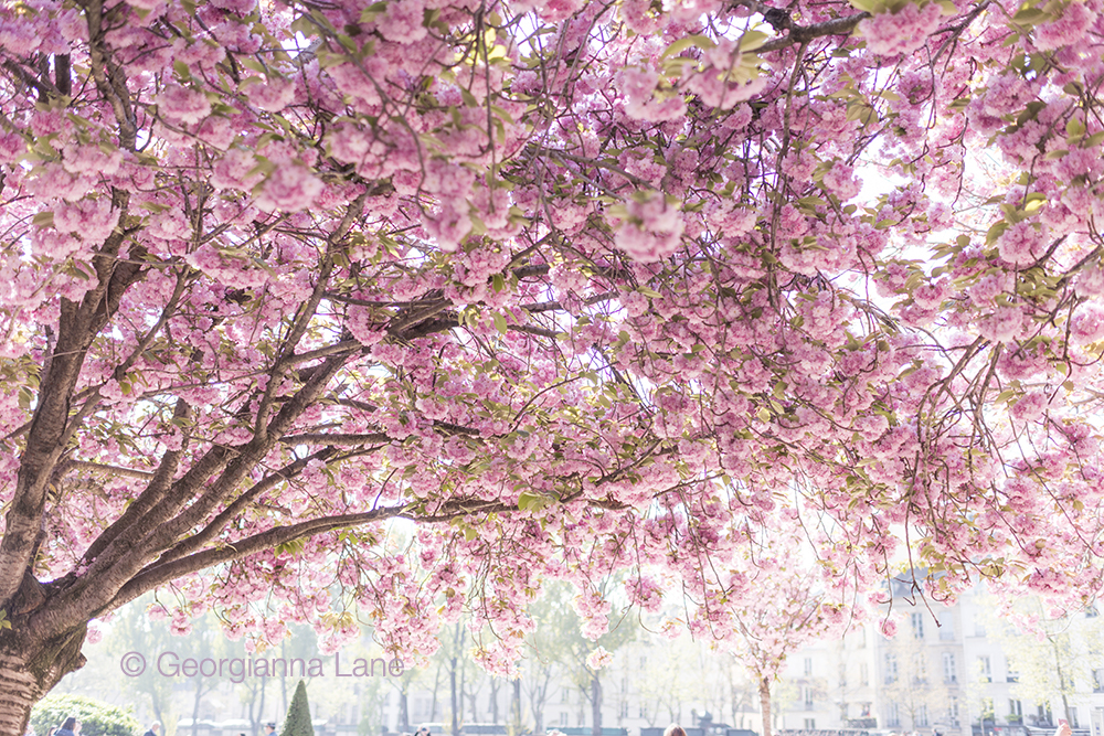 Cherry blossoms in Paris by Georgianna Lane, author of Paris in Bloom