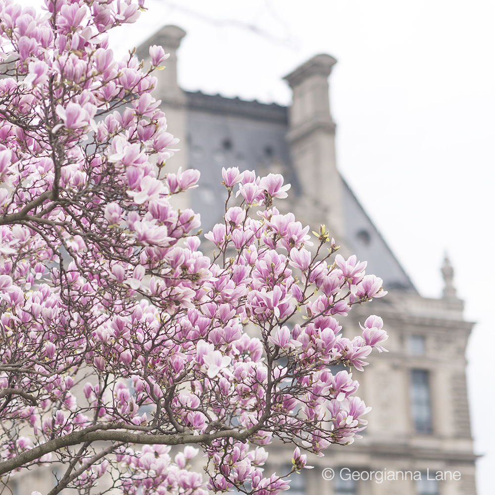 Magnolias in the Tuileries, Paris, by Georgianna Lane