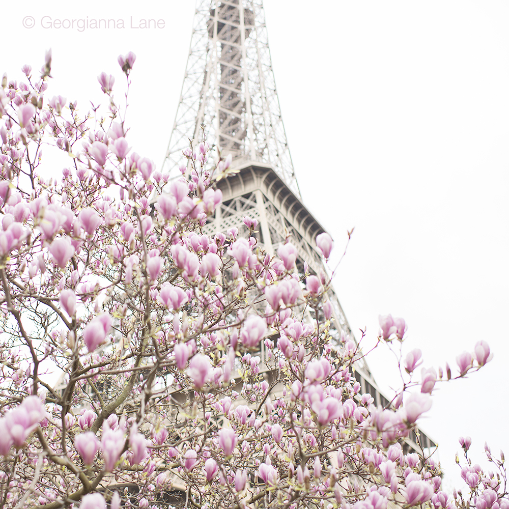 Magnolias at the Eiffel Tower by Georgianna Lane