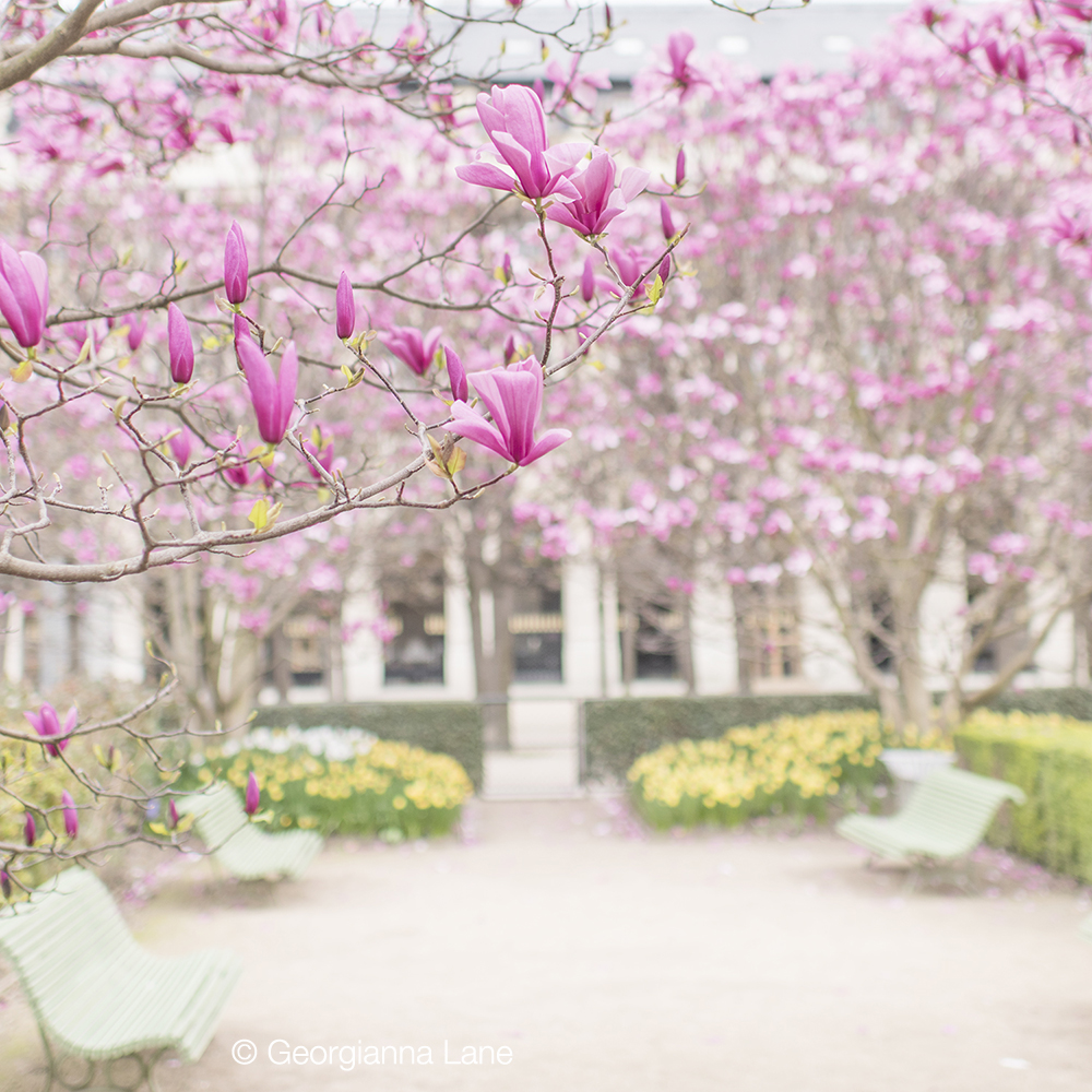 Magnolias at Palais Royal, Paris, by Georgianna Lane