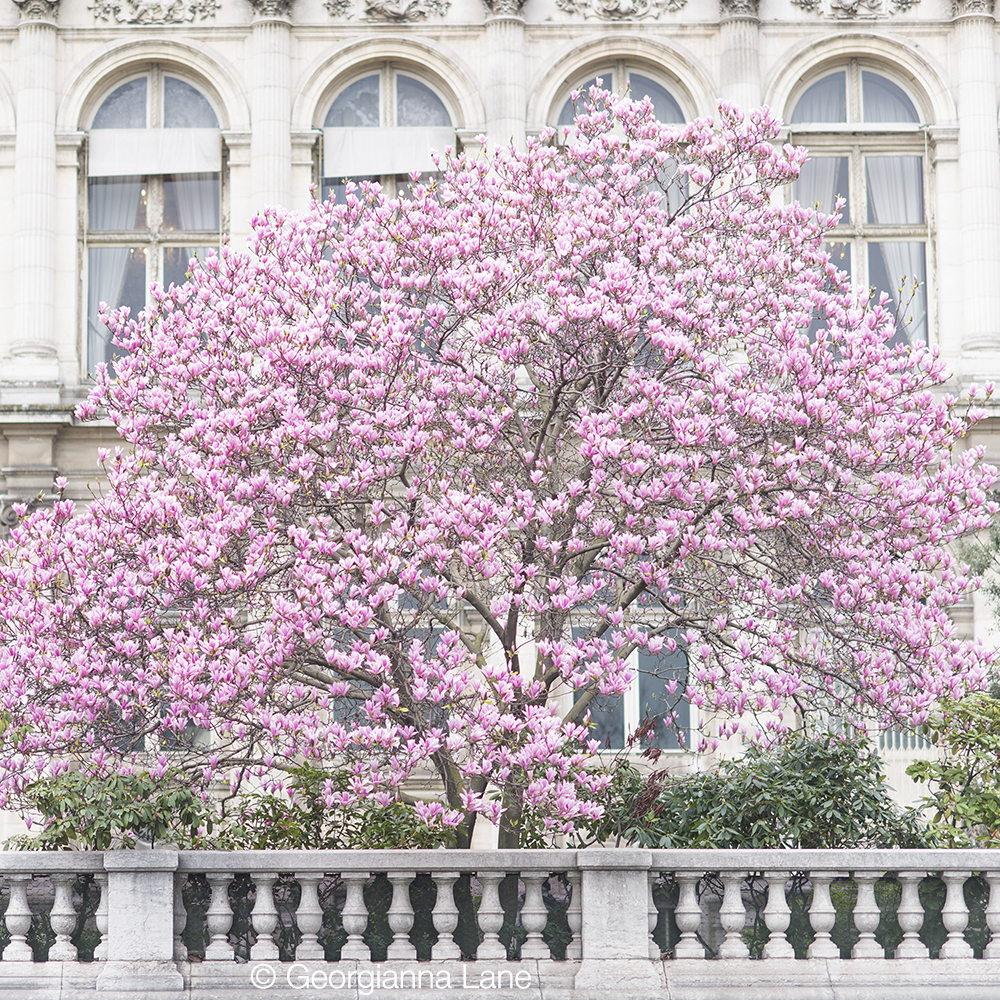 Magnolias at the Hôtel de Ville, Paris, by Georgianna Lane