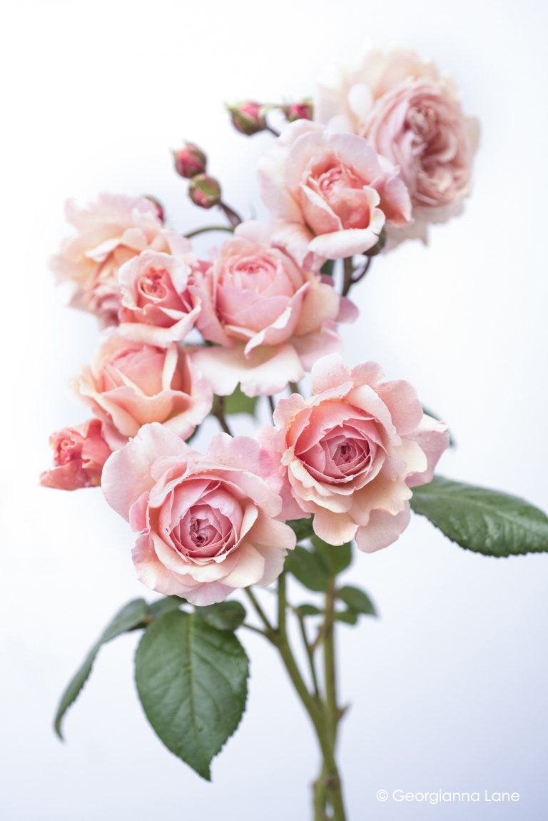 David Austin Rose A Shropshire Lad photographed by Georgianna Lane